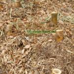 竹やぶ大掃除4~切り残した根元の処理