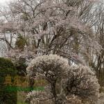 遅咲きの桜が満開