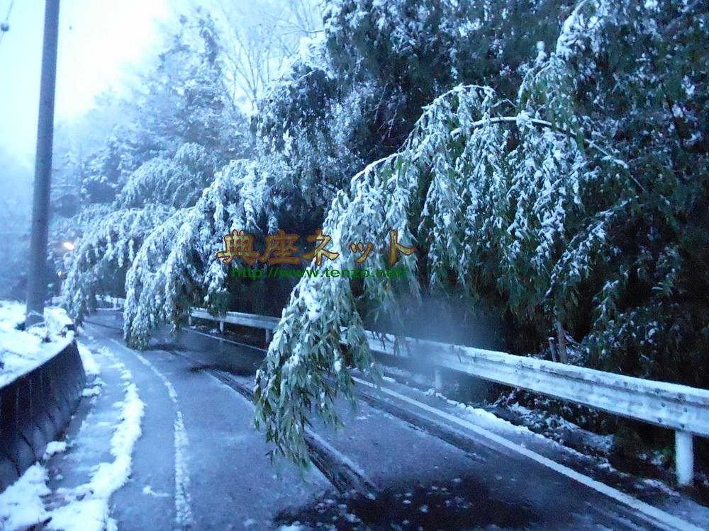 積雪で竹が曲がって道路に