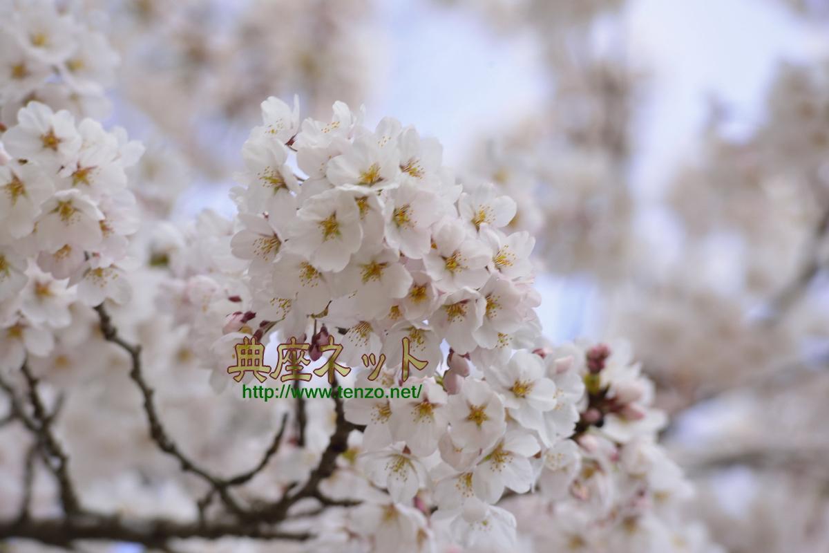 沼田市の桜