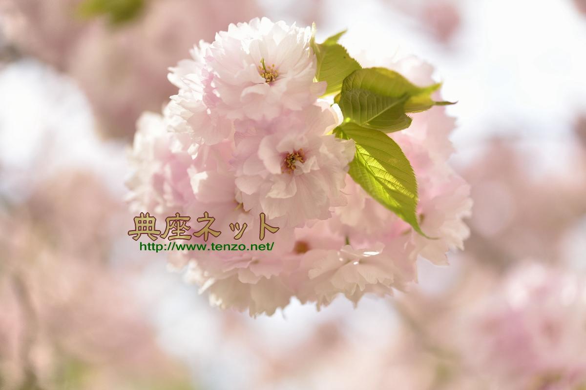 八重桜の梅酢漬