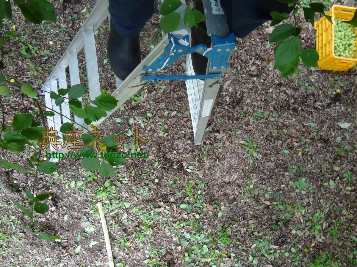 梅の収穫・剪定・お世話