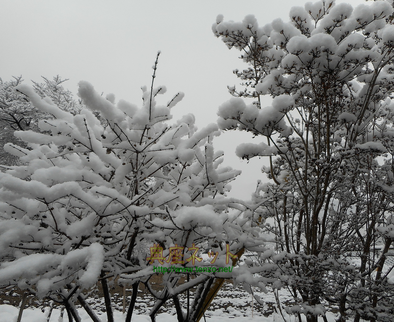 彼岸あけの雪
