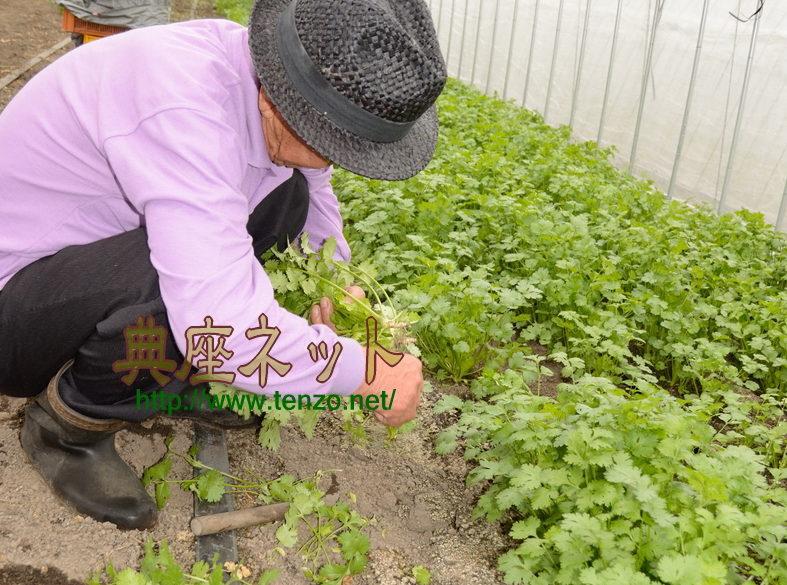 パクチー生産農家取材